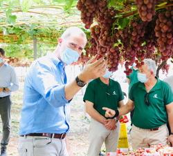 Don Felipe observa los racimos de uvas que están listos para ser vendimiados